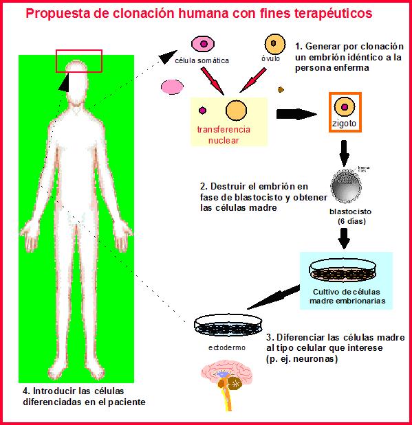 clonación humana terapeutica